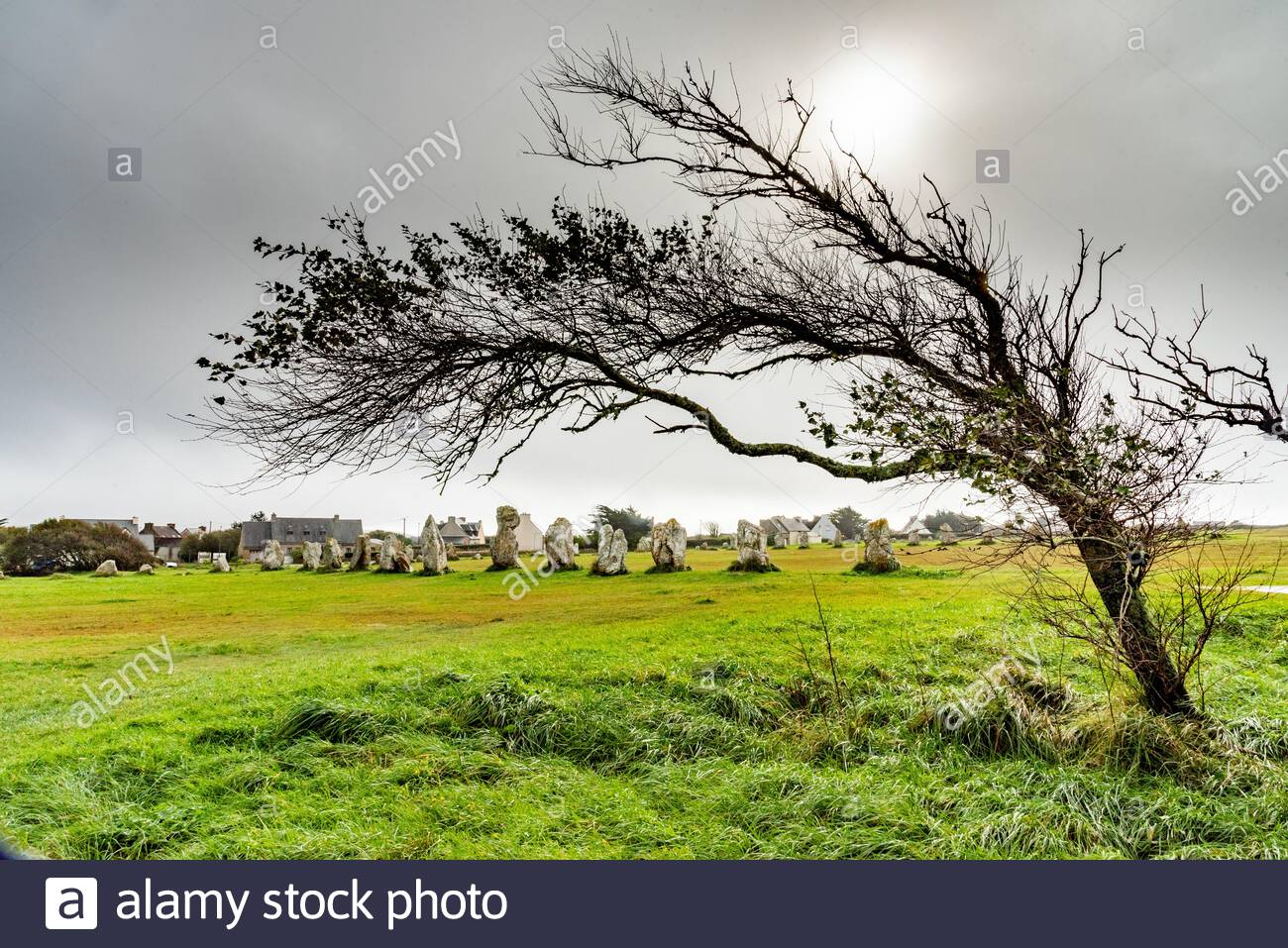standing-stones-in-brittany-a-deformed-tree-lying-by-the-force-of-the-wind-stands-in-front-of-...jpg